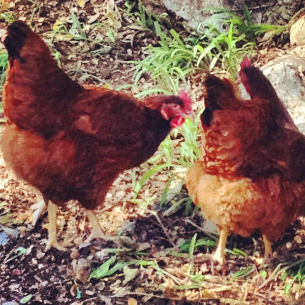 Chickens roaming around my backyard.  Country living at its best!