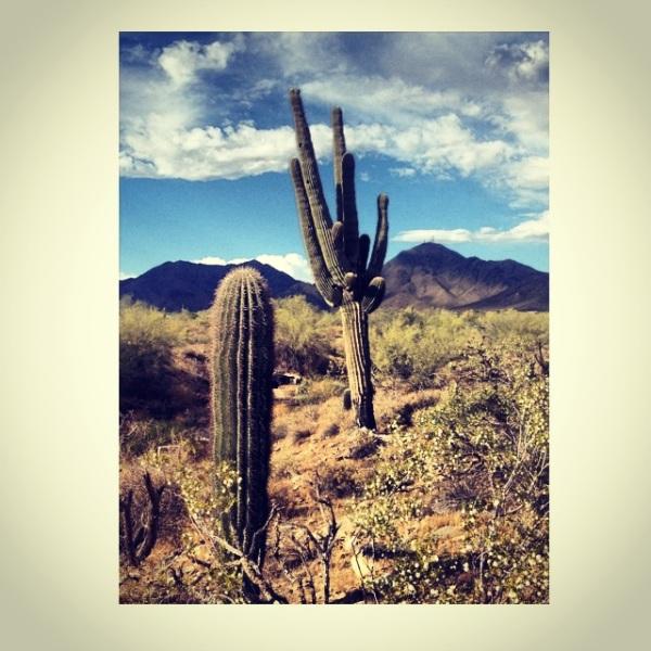 Arizona saguaros by @theschereport